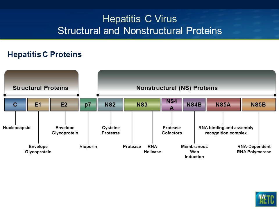 Hepatitis C Virus Structural and Nonstructural Proteins