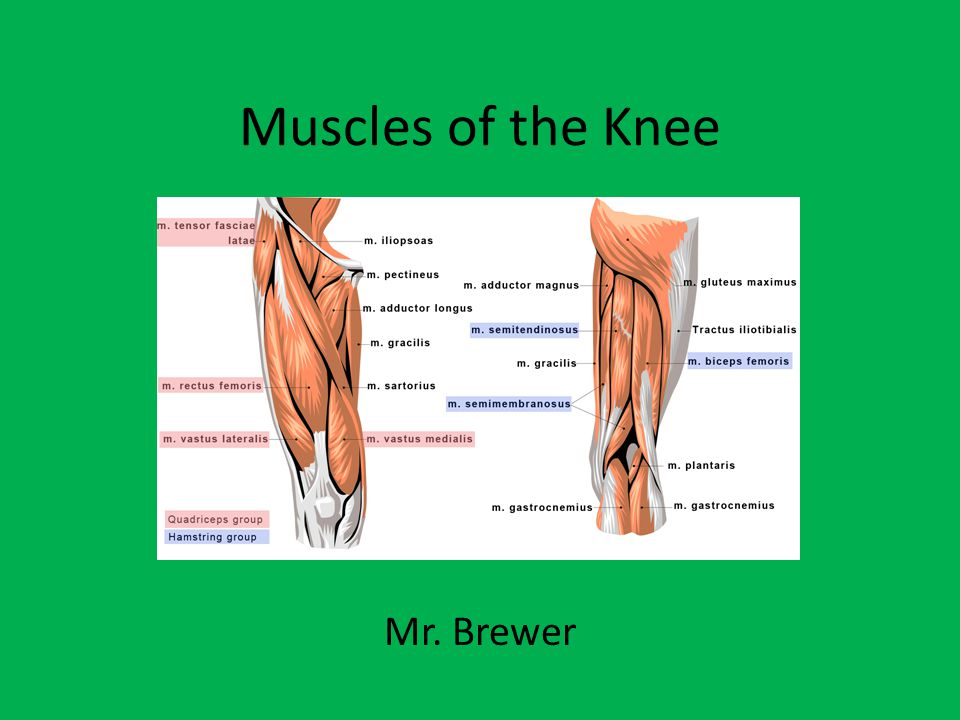 Muscles of the Knee Mr. Brewer