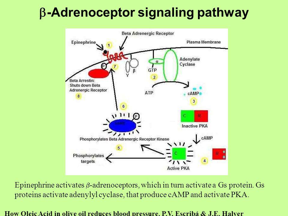 b-Adrenoceptor signaling pathway