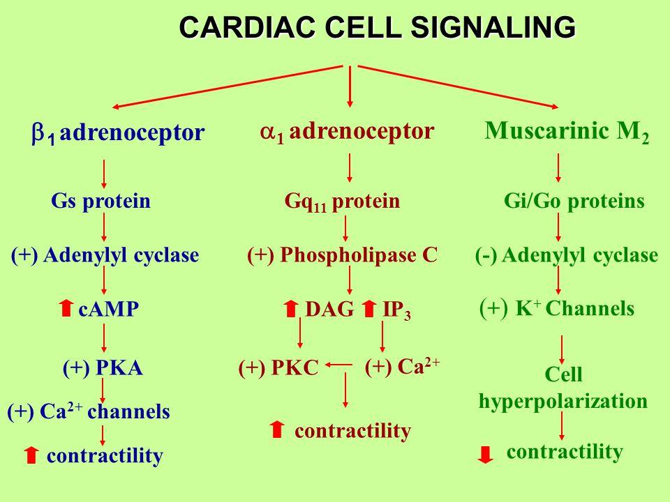 CARDIAC CELL SIGNALING