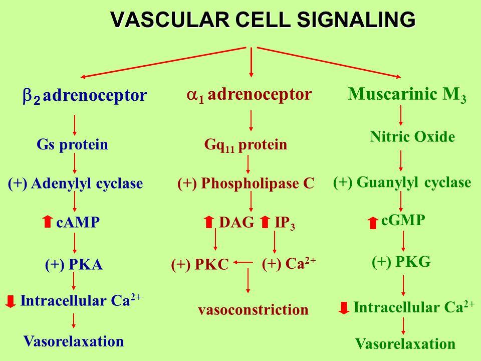 VASCULAR CELL SIGNALING