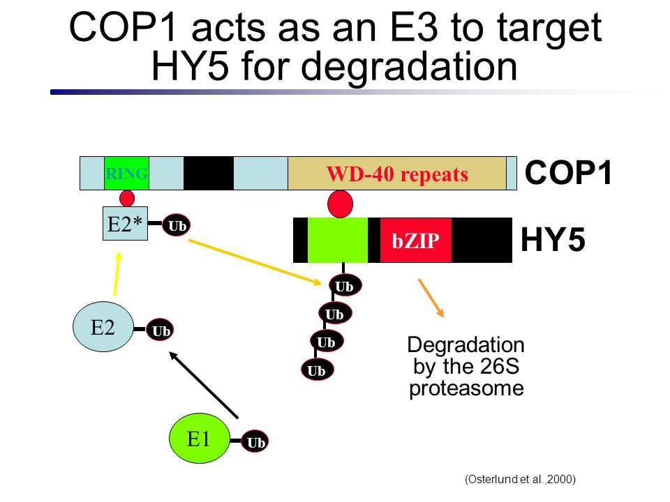 COP1 acts as an E3 to target HY5 for degradation