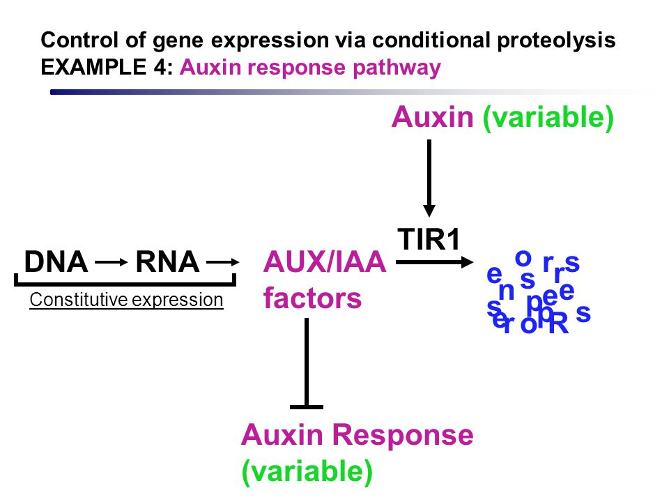 Auxin Response (variable)