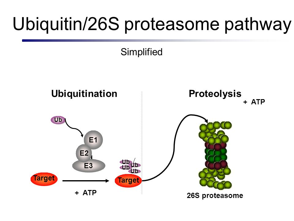 Ubiquitin/26S proteasome pathway