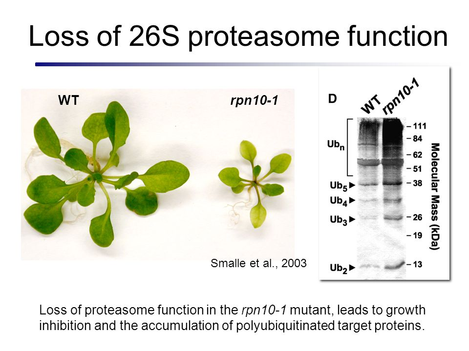 Loss of 26S proteasome function