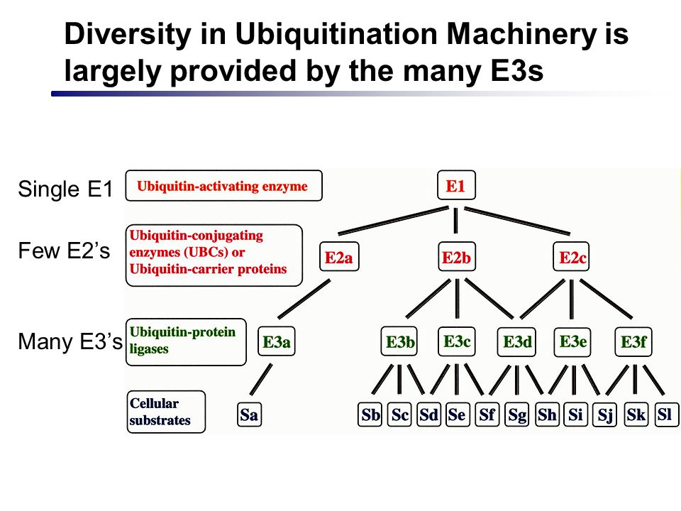 Diversity in Ubiquitination Machinery is largely provided by the many E3s