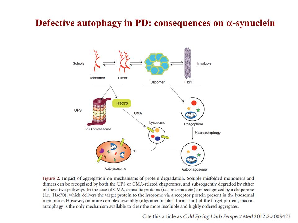 Defective autophagy in PD: consequences on a-synuclein