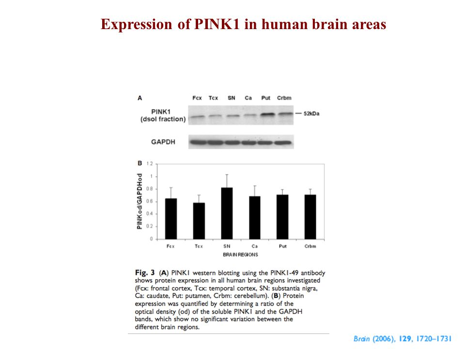 Expression of PINK1 in human brain areas