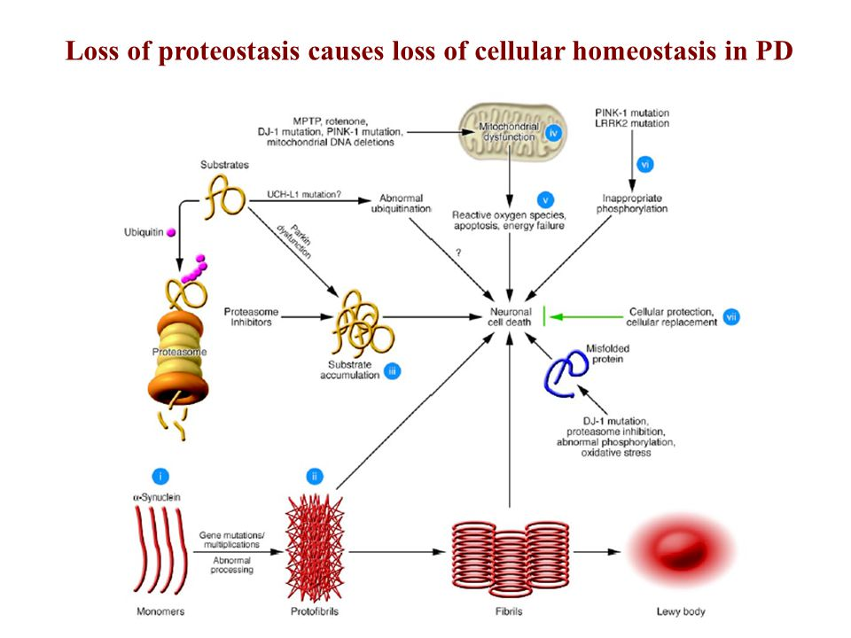 Loss of proteostasis causes loss of cellular homeostasis in PD
