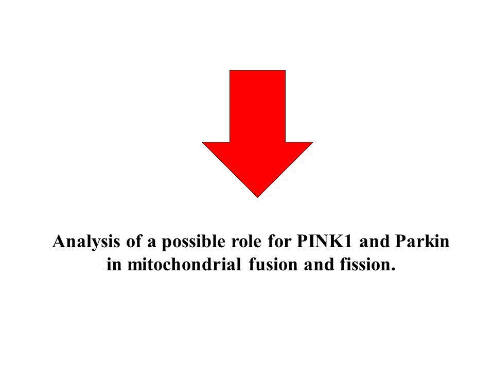 Analysis of a possible role for PINK1 and Parkin in mitochondrial fusion and fission.