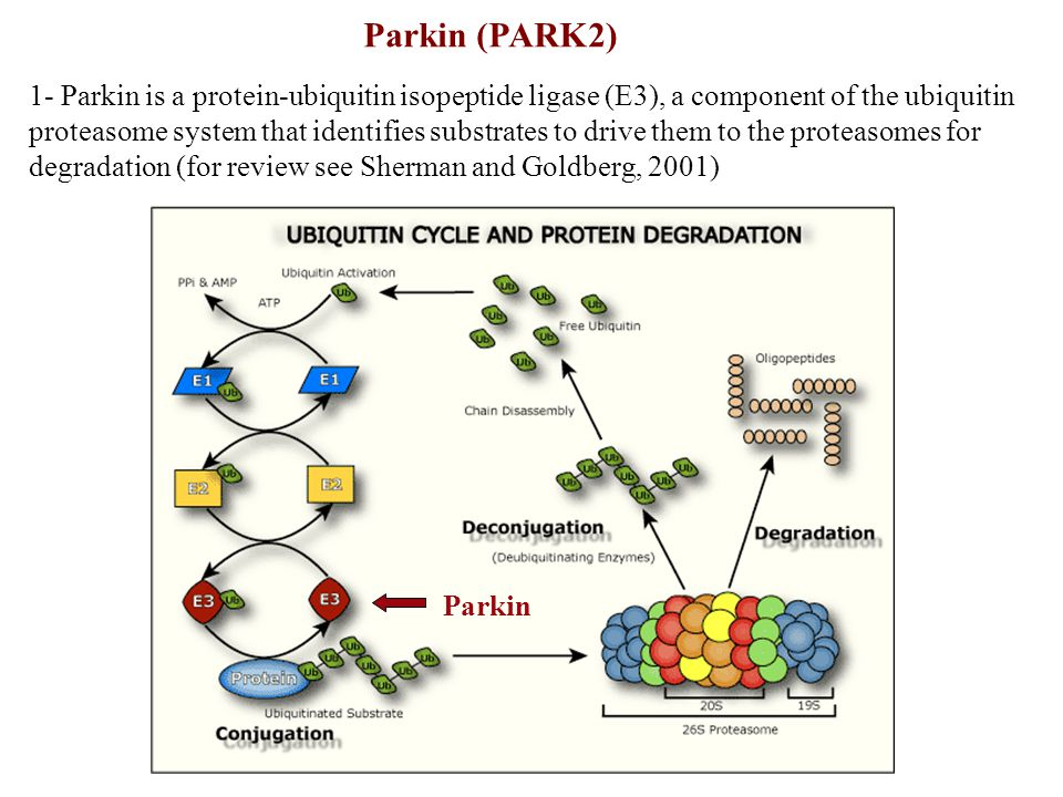 Parkin (PARK2)