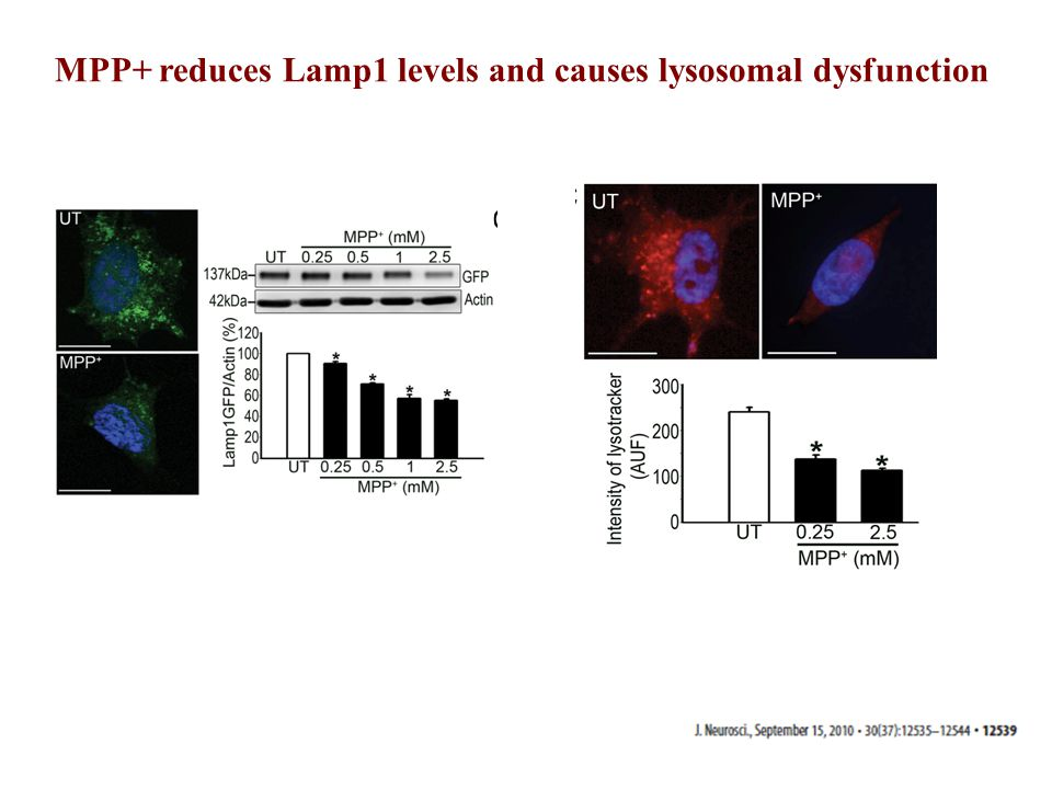 MPP+ reduces Lamp1 levels and causes lysosomal dysfunction