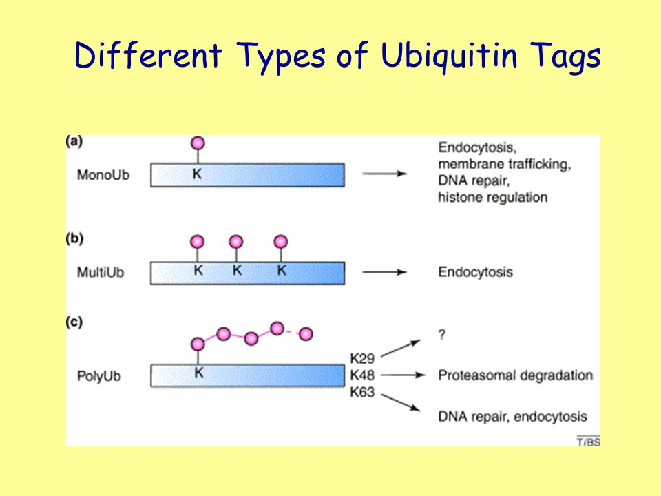 Different Types of Ubiquitin Tags