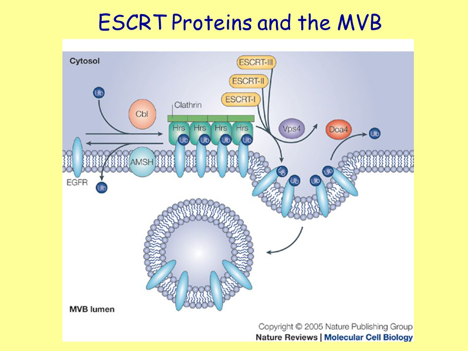 ESCRT Proteins and the MVB