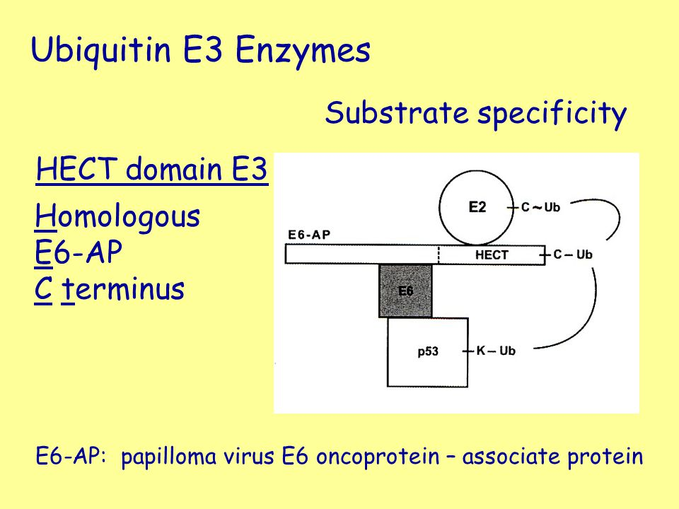 Ubiquitin E3 Enzymes Substrate specificity HECT domain E3 Homologous
