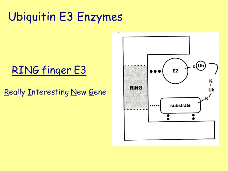 Ubiquitin E3 Enzymes RING finger E3 Really Interesting New Gene