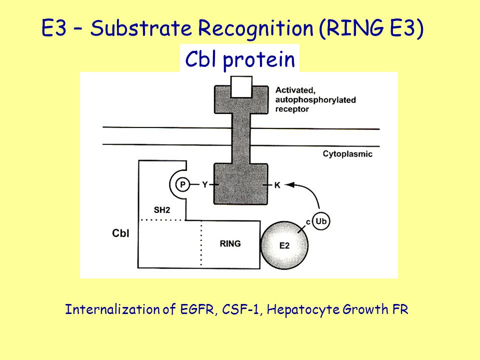 E3 – Substrate Recognition (RING E3)