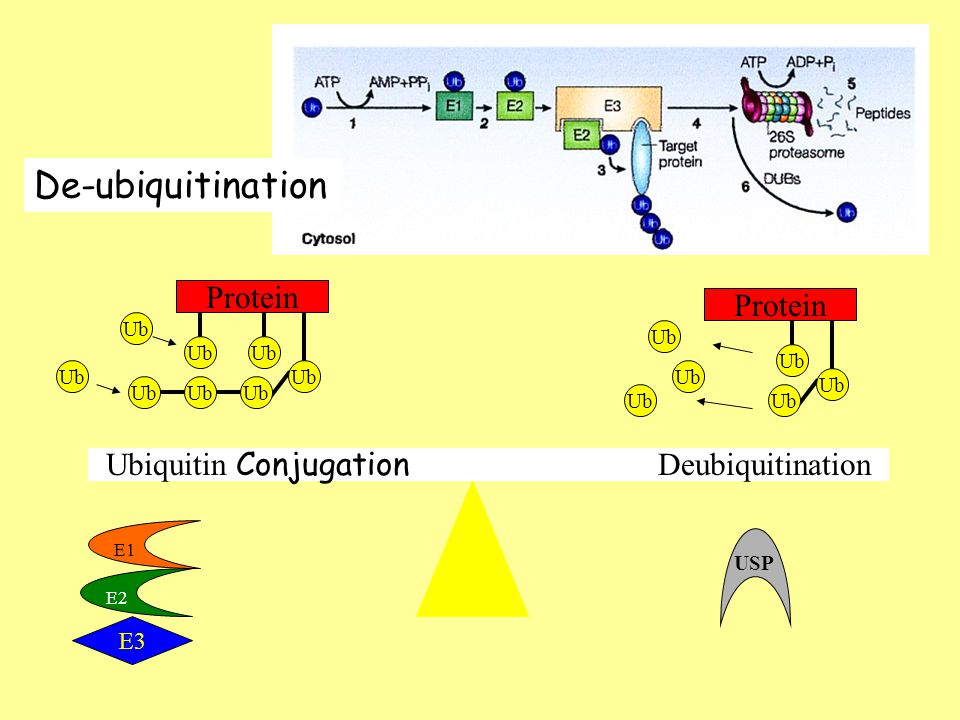 Ubiquitin Conjugation Deubiquitination