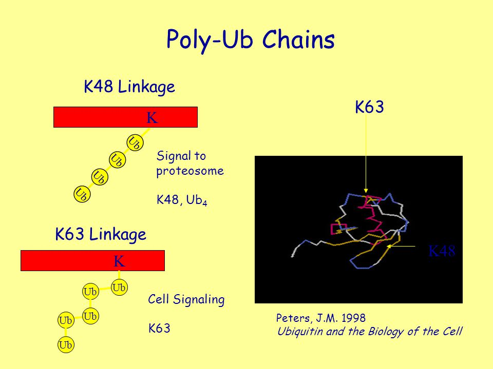 Poly-Ub Chains K48 Linkage K63 K K63 Linkage K48 K