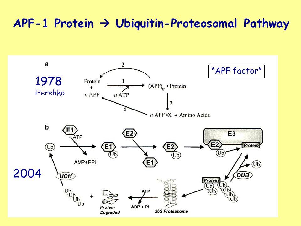 APF-1 Protein  Ubiquitin-Proteosomal Pathway