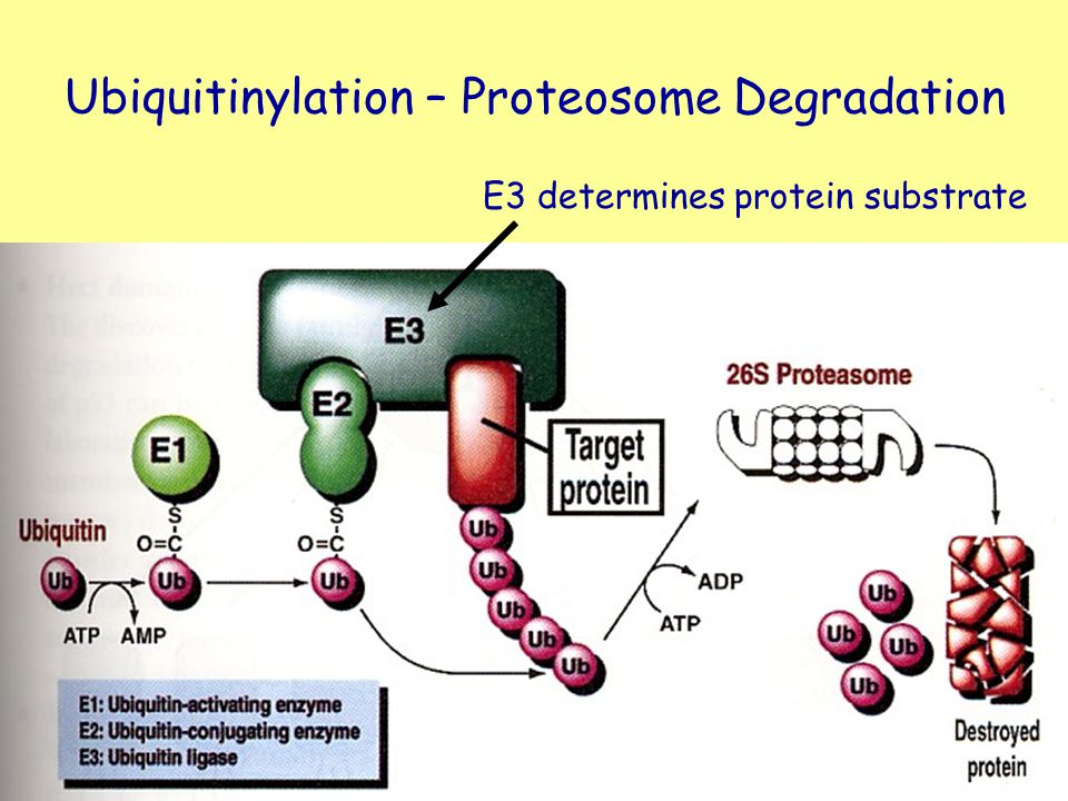 Ubiquitinylation – Proteosome Degradation
