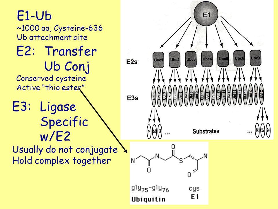 E1-Ub E2: Transfer Ub Conj E3: Ligase Specific w/E2