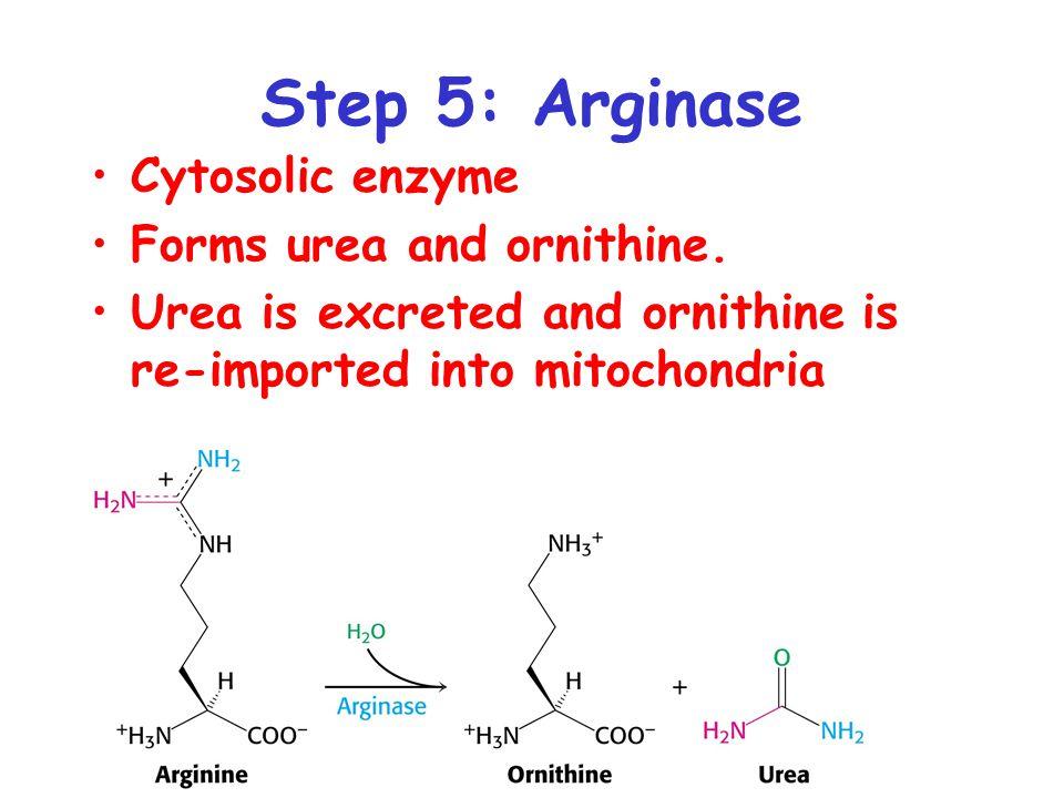 Step 5: Arginase Cytosolic enzyme Forms urea and ornithine.