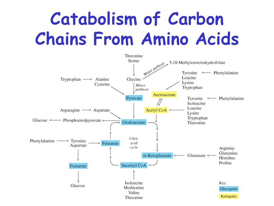 Catabolism of Carbon Chains From Amino Acids