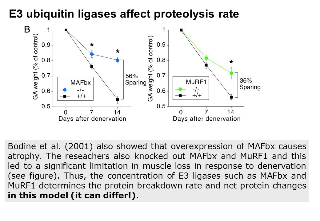 E3 ubiquitin ligases affect proteolysis rate
