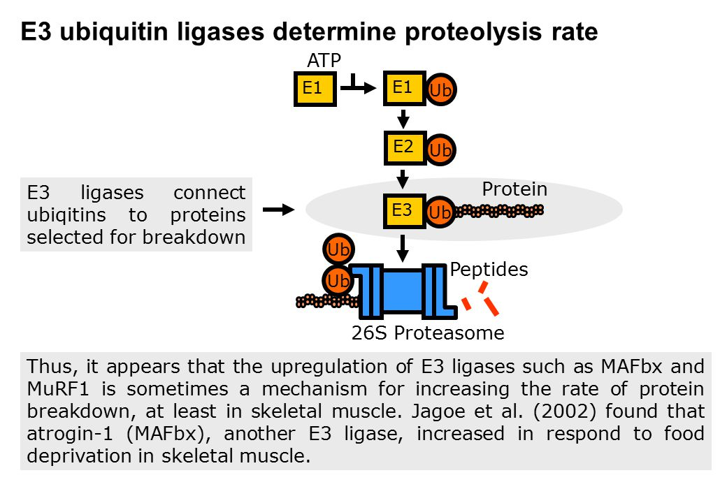 E3 ubiquitin ligases determine proteolysis rate