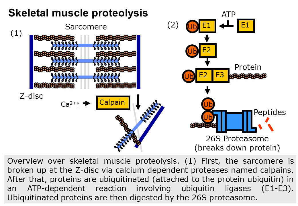 26S Proteasome (breaks down protein)
