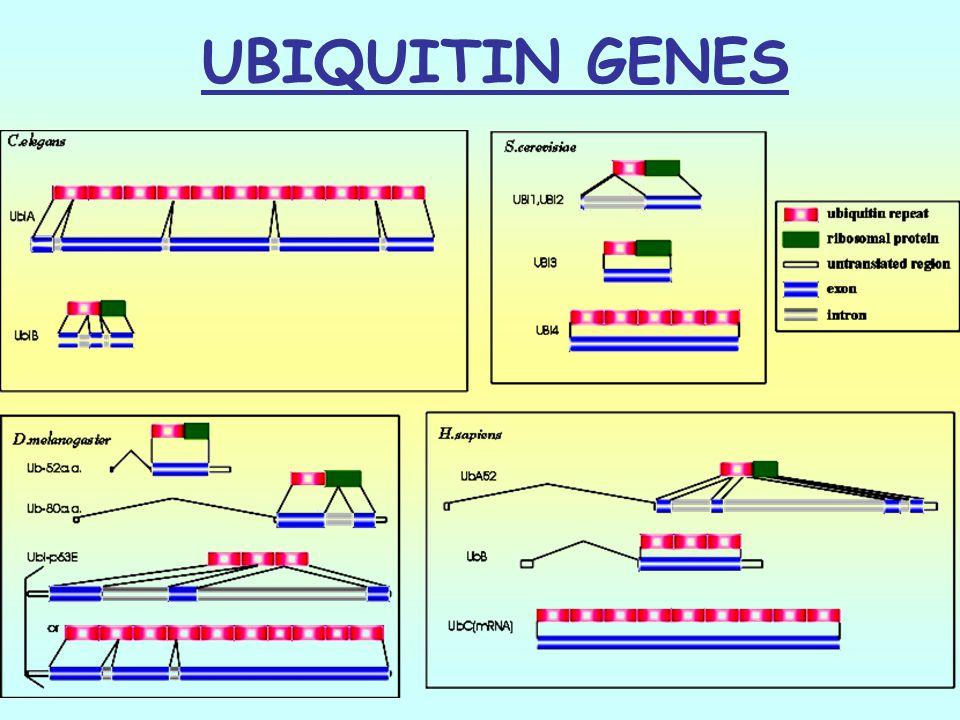 UBIQUITIN GENES