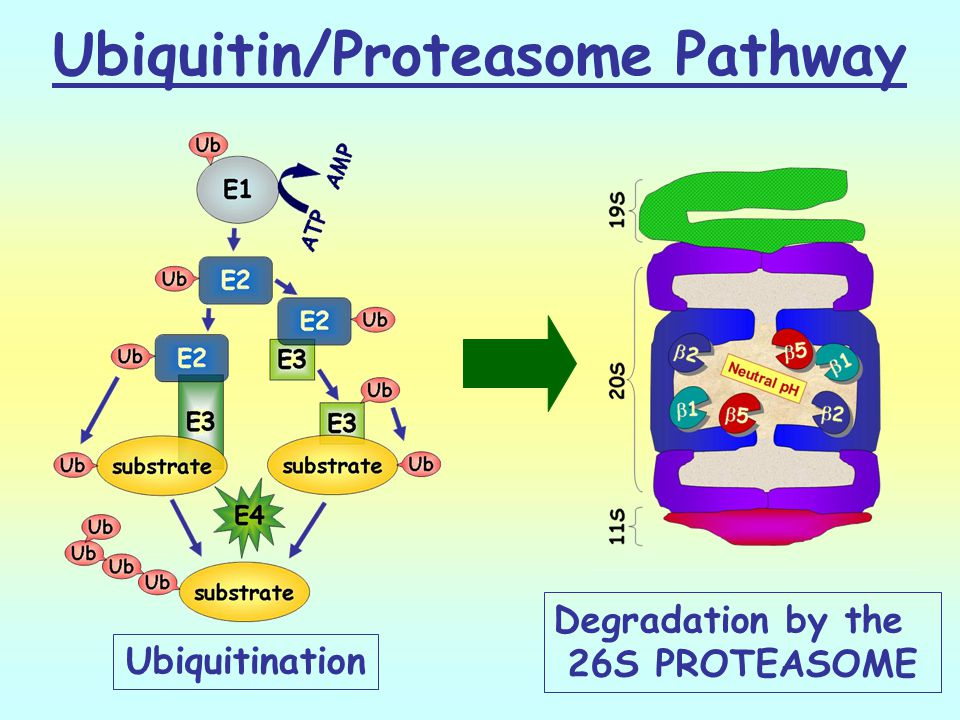 Ubiquitin/Proteasome Pathway