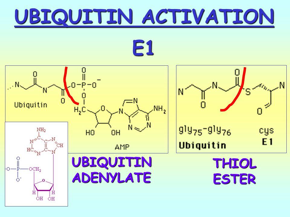 UBIQUITIN ACTIVATION E1