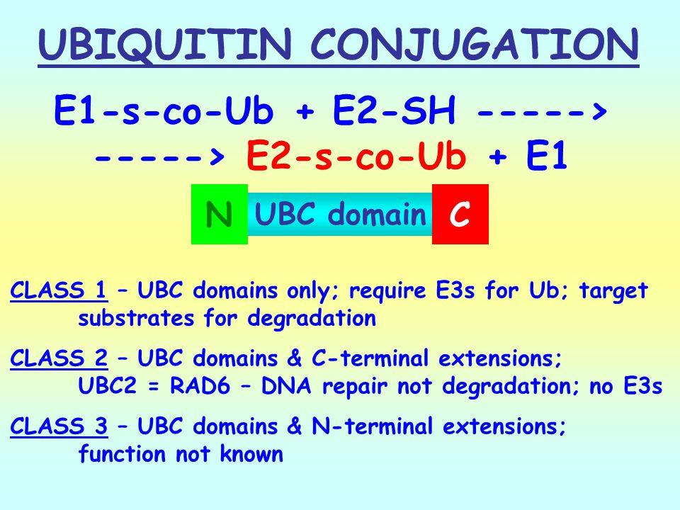 UBIQUITIN CONJUGATION -----> E2-s-co-Ub + E1