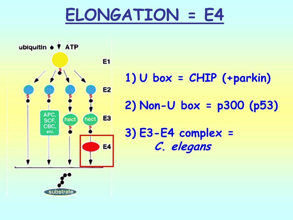 ELONGATION = E4 U box = CHIP (+parkin) Non-U box = p300 (p53)