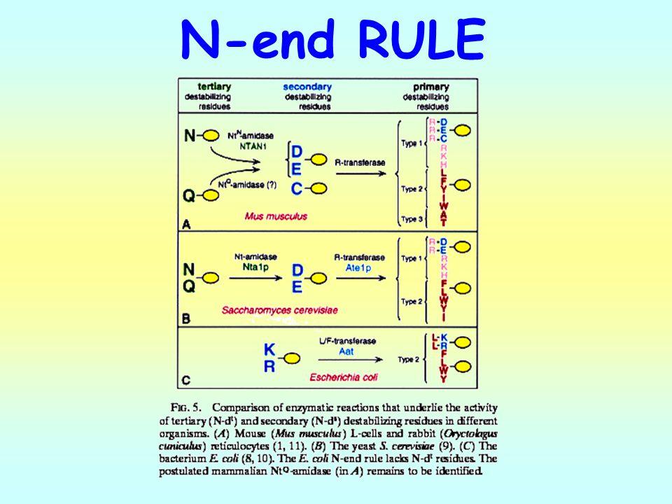 N-end RULE