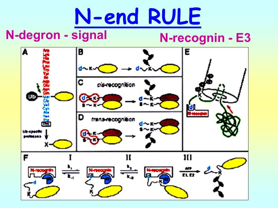 N-end RULE N-degron - signal N-recognin - E3