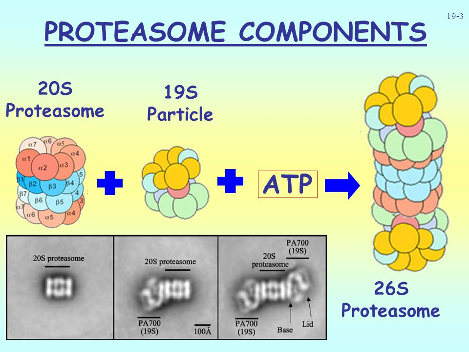 PROTEASOME COMPONENTS