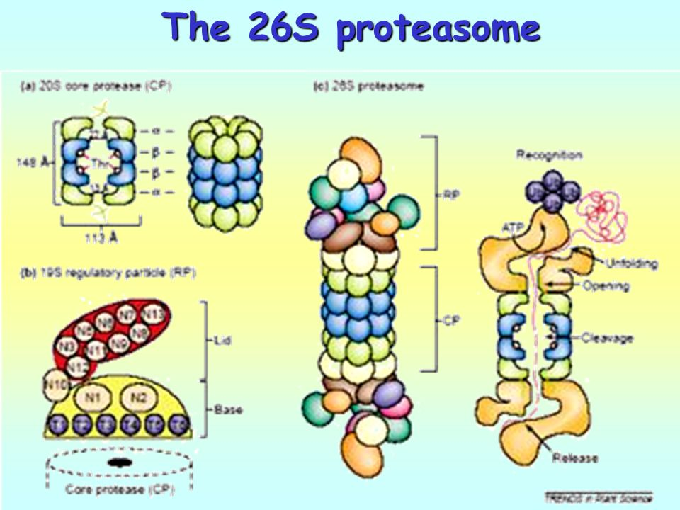 The 26S proteasome