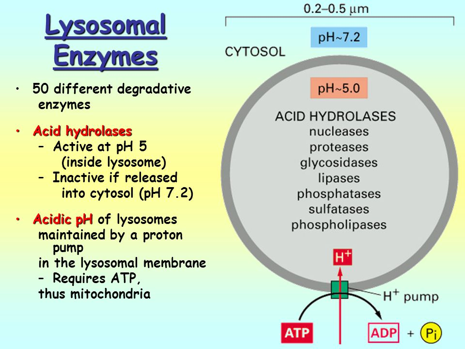 Lysosomal Enzymes 50 different degradative enzymes Acid hydrolases
