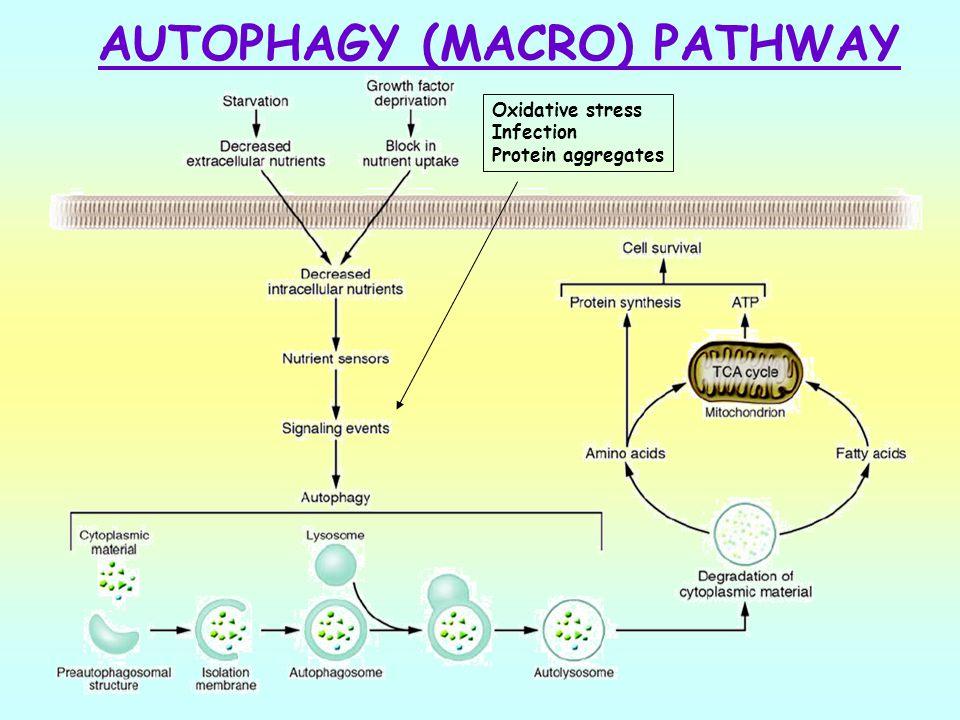 AUTOPHAGY (MACRO) PATHWAY