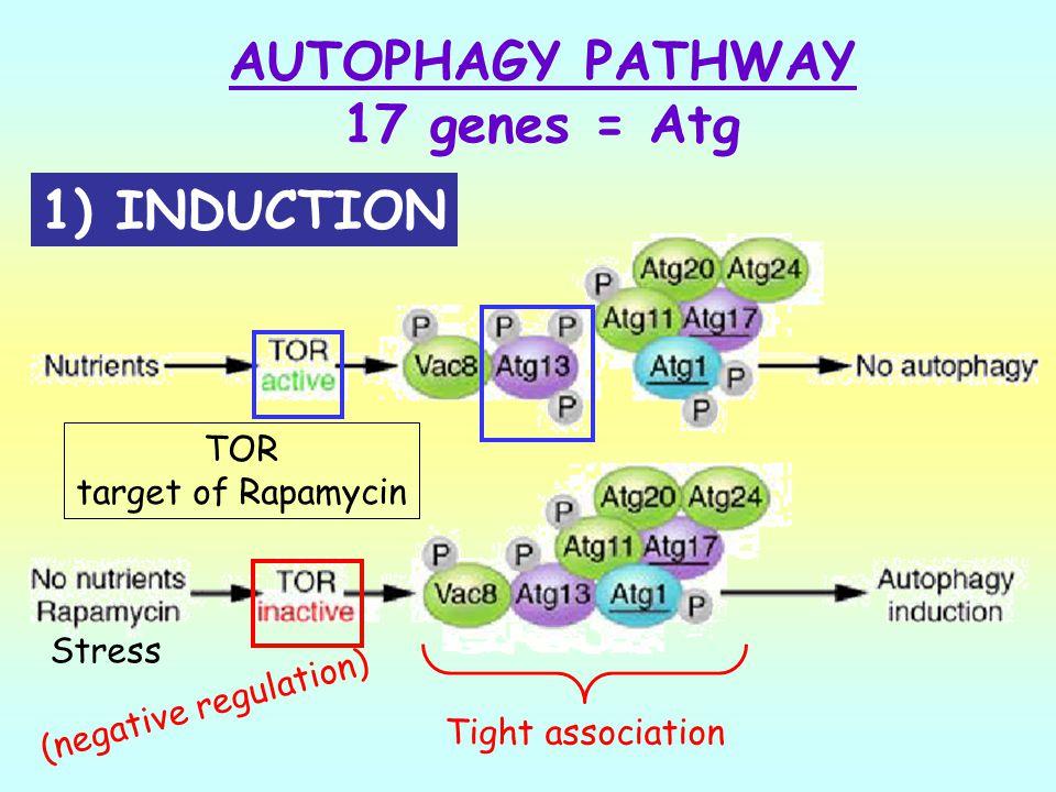 AUTOPHAGY PATHWAY 17 genes = Atg