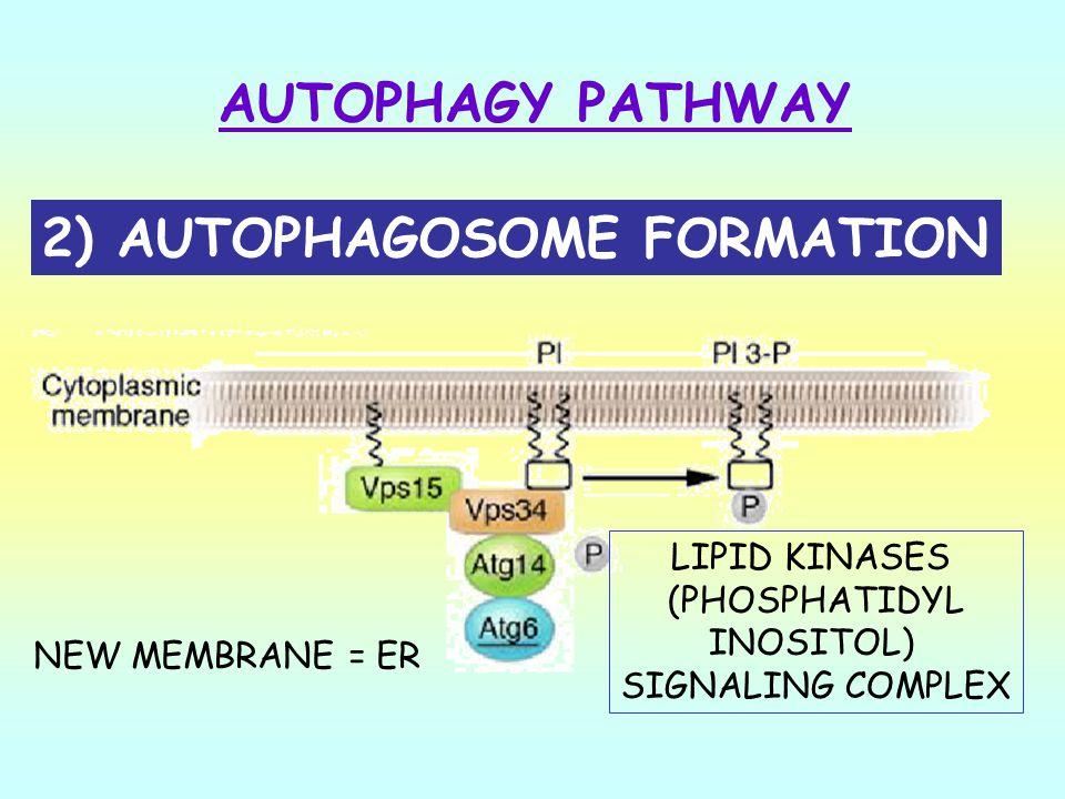 2) AUTOPHAGOSOME FORMATION