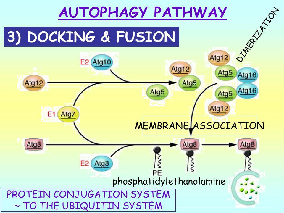 AUTOPHAGY PATHWAY 3) DOCKING & FUSION MEMBRANE ASSOCIATION