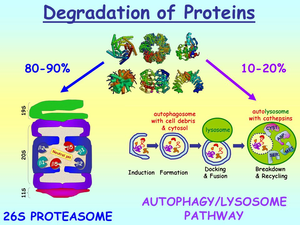 Degradation of Proteins