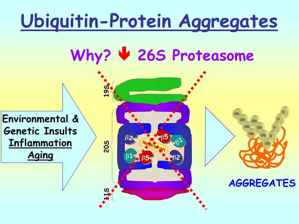 Ubiquitin-Protein Aggregates