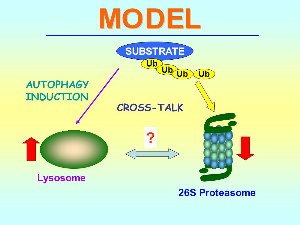 SUBSTRATE AUTOPHAGY INDUCTION CROSS-TALK Lysosome 26S Proteasome Ub