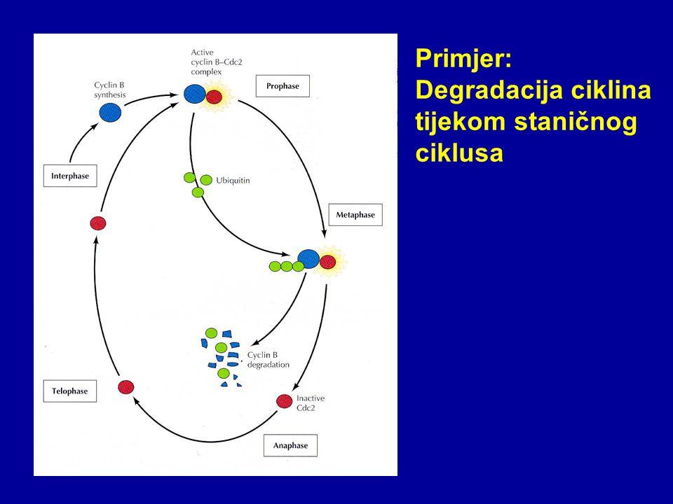 Primjer: Degradacija ciklina tijekom staničnog ciklusa