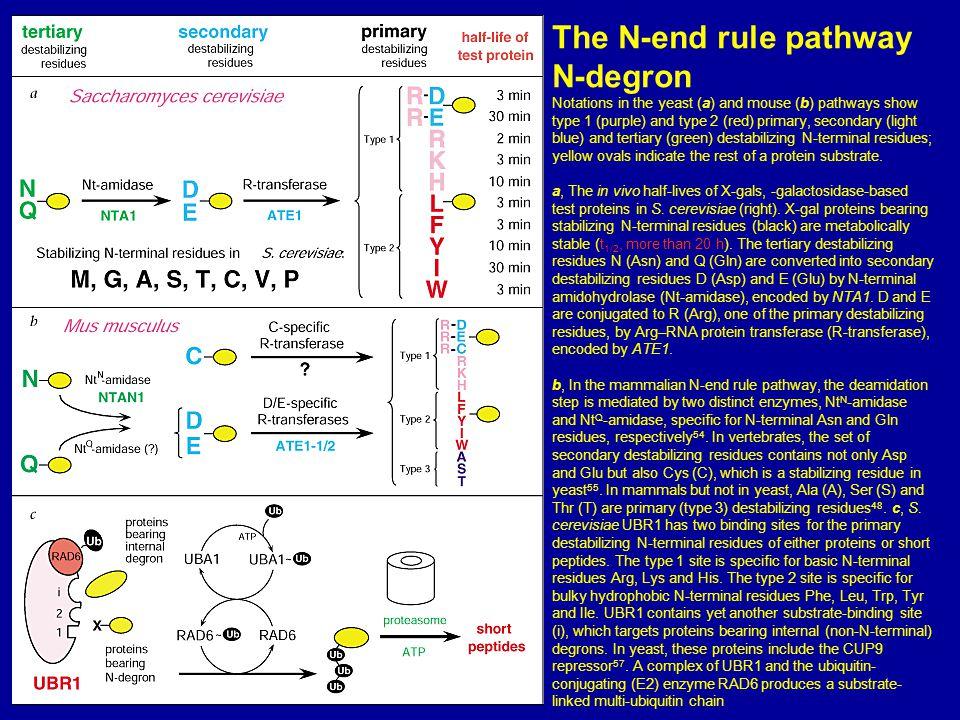 The N-end rule pathway N-degron
